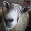 Click To Go To The Compare The Sheep Home Page